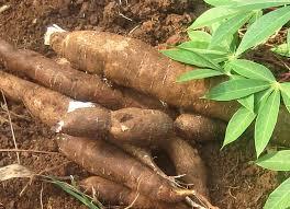 cassava 1