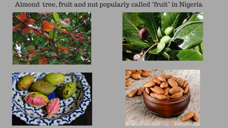 Almond fruit and tree popularly called fruit in Nigeria